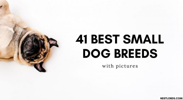 41 Best Small Dog Breeds with Pictures – 2021